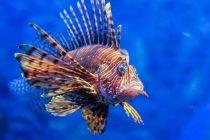 Riba lav i u Jadranskom moru